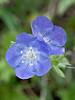 Blue Curls (phacelia patulaeflora),<br /> Nordheim, DeWitt County, Texas
