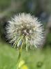 Goatsbeard Fruit or Seedpod (tragopogon dubius),<br /> Nordheim, DeWitt County, Texas