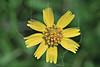 Huisache Daisy (amblyolepis setigera),<br /> Nordheim, DeWitt County, Texas