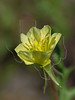 Cut-leaved Evening Primrose ( oenothera laciniata),<br /> Nordheim, DeWitt County, Texas