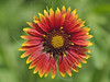 Indian Blanket (gaillardia pulchella),<br /> Nordheim, DeWitt County, Texas