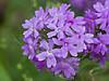 Dakota Vervain or Praire Verbena (verbena bipinnatifida),<br /> Nordheim, DeWitt County, Texas
