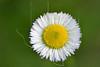 Philadelphia Fleabane ( erigeron philadelphicus),<br /> Nordheim, DeWitt County, Texas