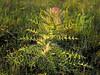 Bull Thistle (cirsium horridulum),<br /> Nordheim, Texas