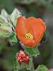 Caliche Globe Mallow (sphaeralcea coccinea),<br /> Nordheim, DeWitt County, Texas