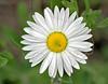 Lazy Daisy (aphanostephus skirrhobasis),<br /> Nordheim, DeWitt County, Texas