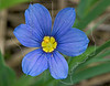 Dotted Blue-eyed Grass (sisyrinchium pruinosum),<br /> Nordheim, DeWitt County, Texas