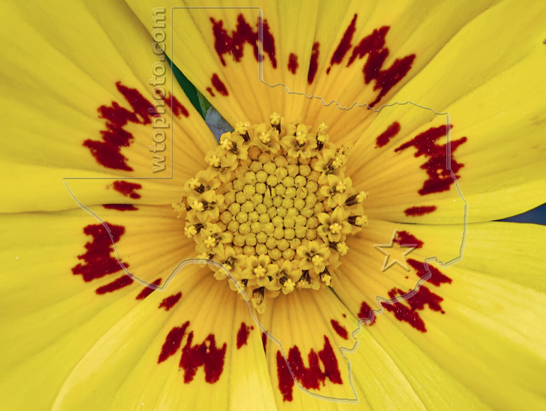 Nueces Coreopsis (coreopsis nuecensoides), <br /> Nordheim, DeWitt County, Texas