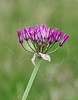 Drummond Wild Onion (allium drommondii),<br /> Nordheim, DeWitt County, Texas