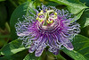 Passion Flower (Passiflora incarnata )<br /> Nordheim, Texas