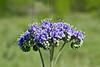 Phacelia or Blue Curls (phacelia congesta),<br /> Nordheim, DeWitt County, Texas