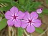 Downy Phlox (phlox pilosa),<br /> Nordheim, DeWitt County, Texas