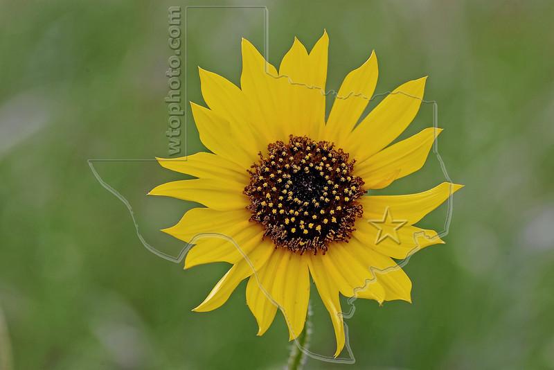 Common Sunflower, helianthus annuus,<br /> Nordheim, Texas