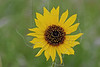 Common Sunflower, helianthus annuus,<br /> Nordheim, Texas