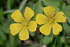 Yellow Wood-Sorrel (oxalis dillenii),<br /> Nordheim, DeWitt County, Texas