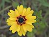 Coreopsis (coreopsis basalis),<br /> Nordheim, DeWitt County, Texas