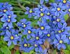Dotted Blue-eyed Grass (sisyrinchium pruinosum),<br /> Nordheim, DeWitt County, Texas
