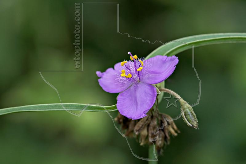 Prairie Spiderwort (tradescantia occidentalis),<br /> Nordheim, DeWitt County, Texas
