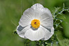 White Prickly Poppy (argemone albiflora texana),<br /> Nordheim, DeWitt County, Texas