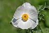White Prickly Poppy (argemone albiflora texana),<br /> Nordheim, DeWitt County, Texas