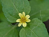 Lawnflower (calyptocarpus vialis),<br /> Nordheim, DeWitt County, Texas