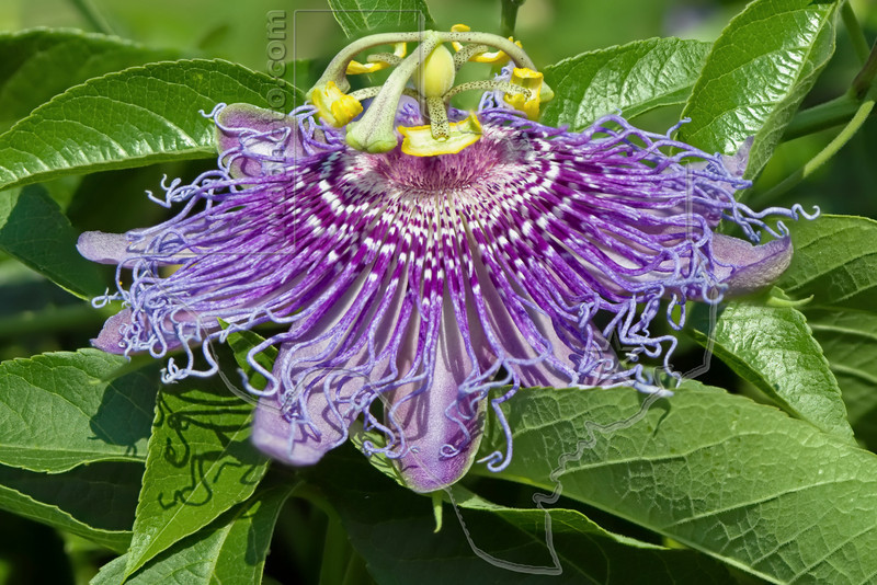 Passion Flower (Passiflora incarnata )<br /> Nordheim, Texas