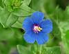 Scarlet Pimpernel, Blue Form,(anagallis arvensis),<br /> Nordheim, DeWitt County, Texas