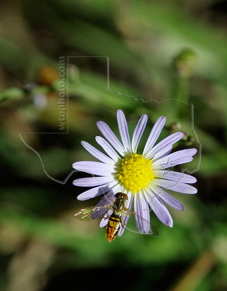 Annual Aster (aster subulatus) and Bee,<br /> Nordheim, DeWitt County, Texas