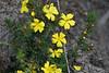 Guinea Flower, Royal Botanic Gardens, Cranbourne