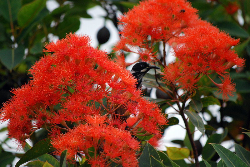 'Red flowering gum' - Corymbia ficifolia (or closely related species) with New Holland Honeyeater largely obscured by the flowers. Strezlecki Ranges, Victoria