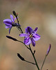 'Chocolate Lily' - Arthropodium strictum<br /> Thanks for the ID, Richard :)