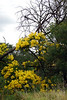 The magnificently yellow end to winter - Wattle time!<br /> Koomba Park, Victoria, late August, 2010