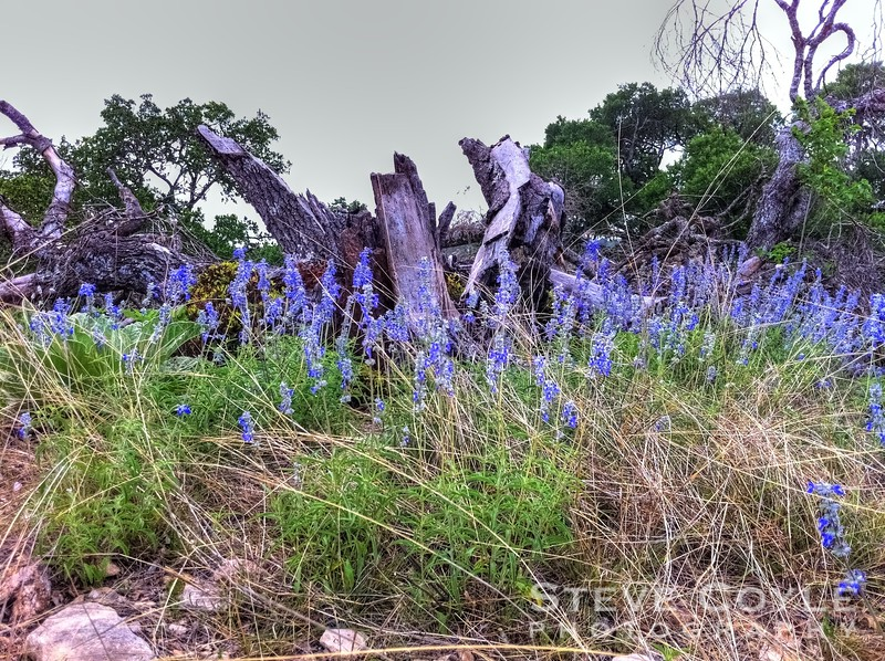 Even in drought years there are spots of wildflowers in the Texas Hill Country. I spotted this patch on the Easter Hill Country Tour a few years ago. There was a lot of brown that year, so this little spot of blue was a welcome sight.