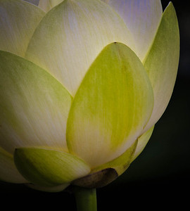 American Lotus  08 17 10  063 - Edit