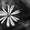 When I saw this aster shot I knew a B&W conversion would be in its future.  Who knew a shy beauty like this could be so dramatic?