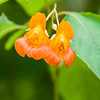 Spotted Touch-Me-Not (Impatiens capensis), Backbone Mountan, Garrett County, Maryland, USA
