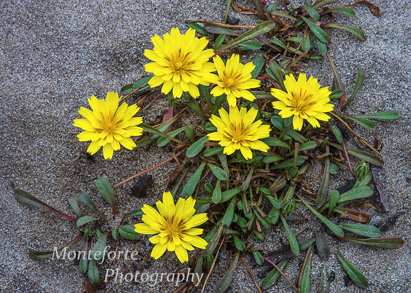 Beach dandelion - Agoseris apargioides - on beach Pacific Grove Ca.