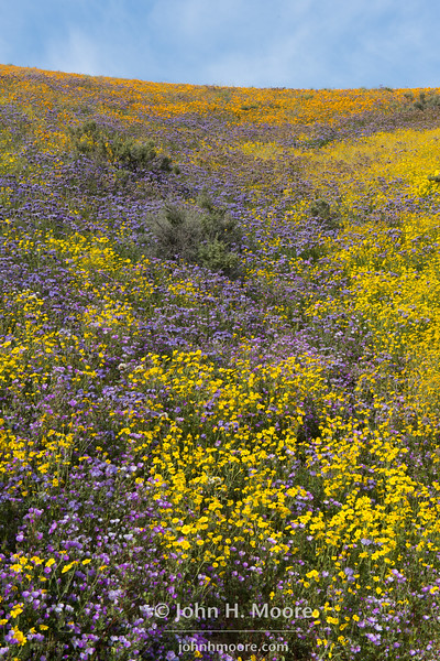 Mixed wildflowers on a hillside.  Temblor Mountains, Carrizo Plain National Monument, California.