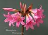 Naked Lady Amaryllis belladonna