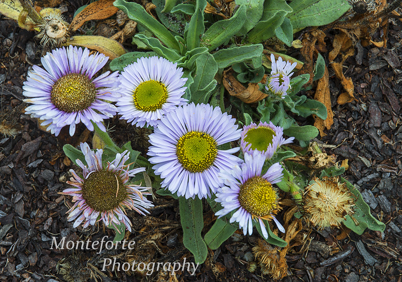 Seaside Daisy - Erigeron glaucus on coast in Pacific Grove Ca.
