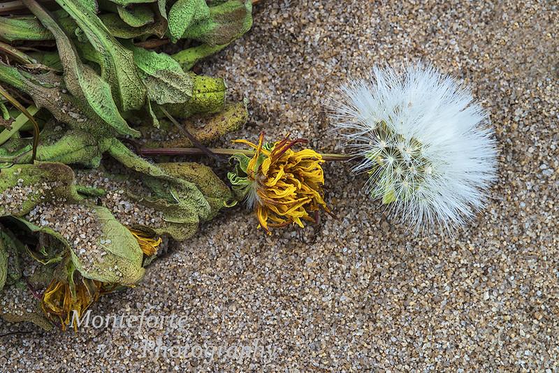 Beach Dandelion Agoseris apargioides