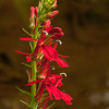 Cardinal flower shot w/the OM 90mm macro at probably f8. I've never come across these where I could get to them so I was happy to spot some down by the middle branch of the Piscataquog.