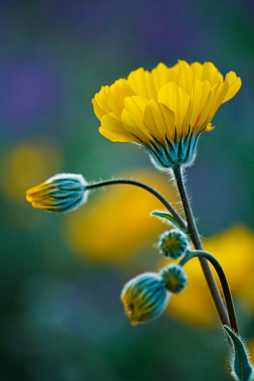 """Title: Mellow Yellow<br /> 2rd Place in the """"Flower & Foliage"""" community (Flowers) competition of Inspire 2010: <a href=""""http://inspi.re/"""">http://inspi.re/</a> edit"""