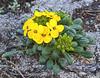 Menzie's wallflower - Erysimum menziesii - growing on the dunes at Asilomar beach Pacific Grove California.
