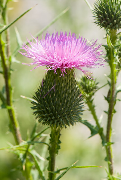 Bull Thistle (Cirsium vulgare), Dolly Sods Wilderness, Tucker County, West Virginia, USA