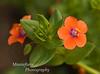 Scarlet Pimpernal-Anagallis arvensis
