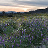 Lupine and other wildflowers at sunset, Joshua Tree National Park.