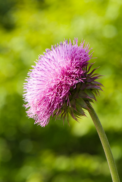 Nodding Thistle (Carduus nutans), Dolly Sods Wilderness, Tucker County, West Virginia, USA