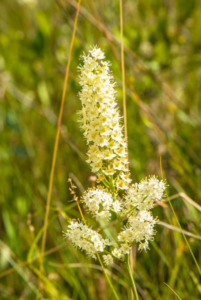Death Camas (Zigadenus leimanthoides), Dolly Sods Wilderness, Tucker County, West Virginia, USA