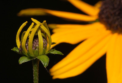 Black-eyed Susan  06 16 09  006